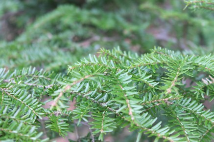 evergreen_sprig